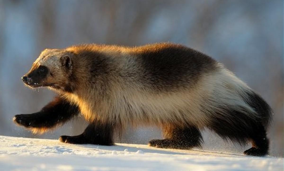 Eurasian Wolverine