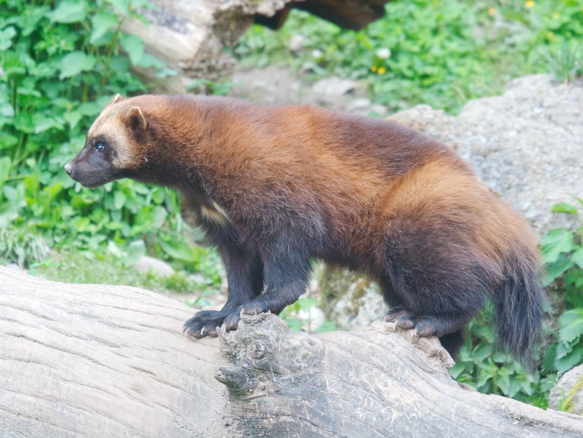 The wolverine, or Gulo gulo, is most closely related to the marten, both members of the Mustelidae  (weasel) family.