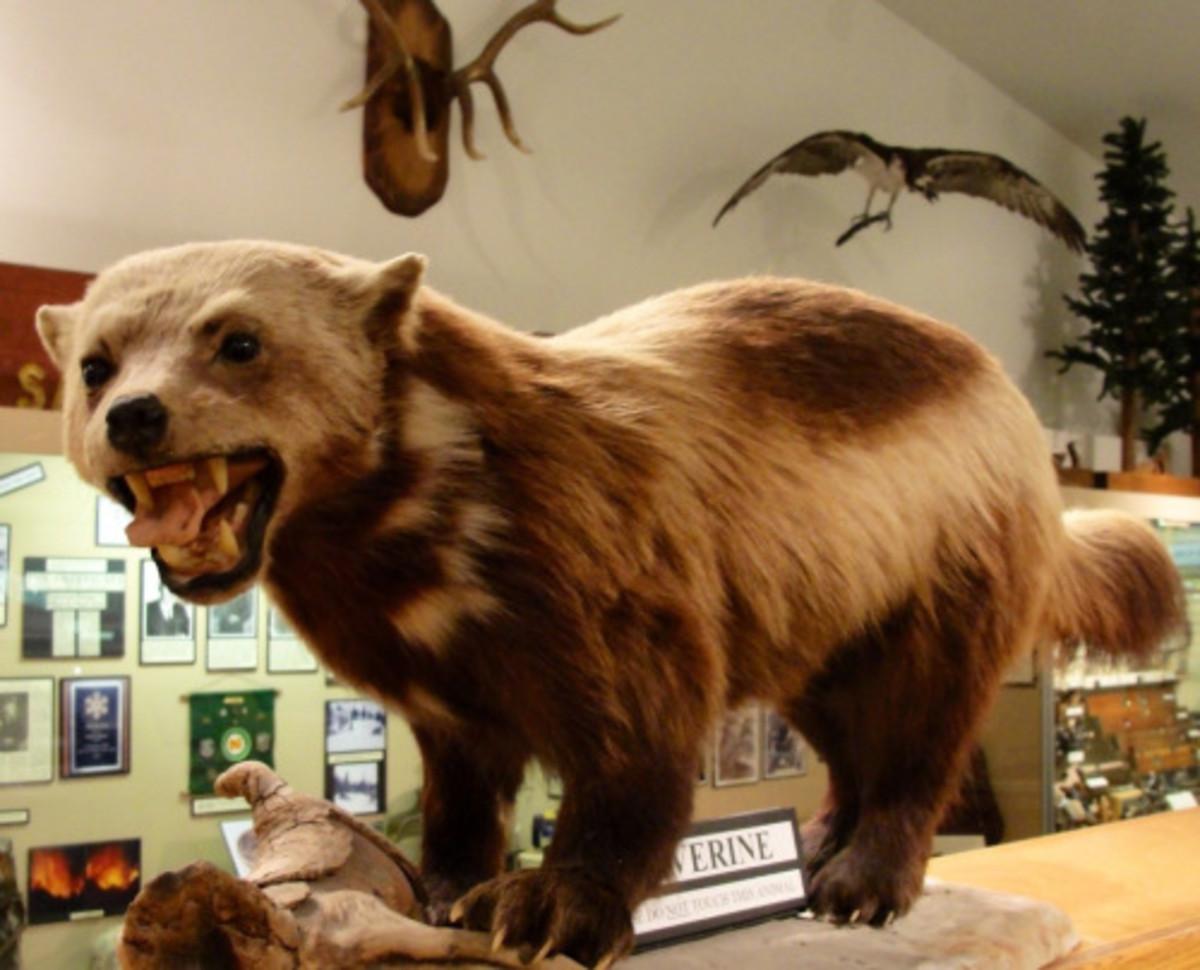 California Wolverine (Gulo gulo luteus, mounted)