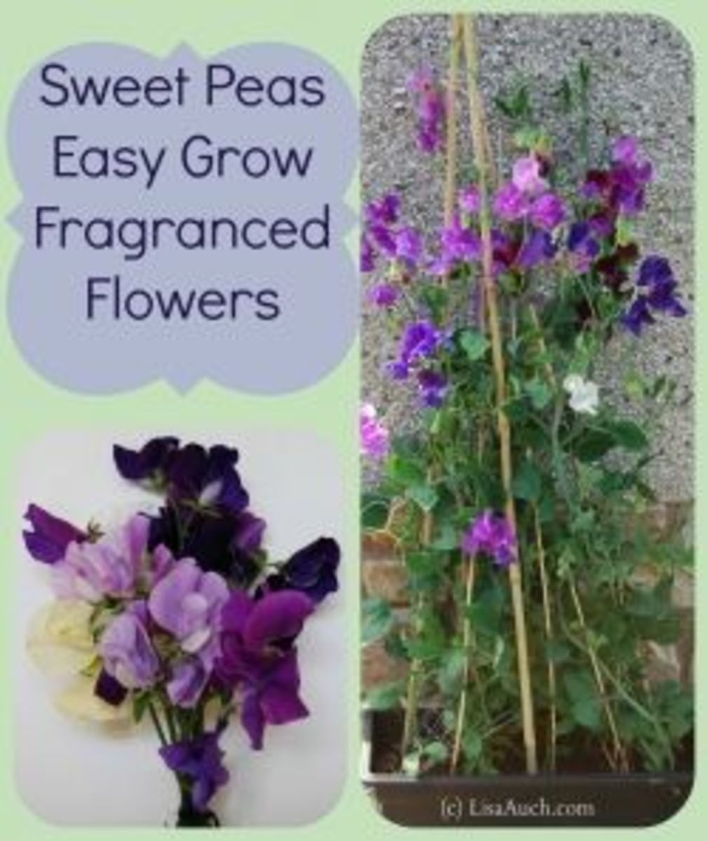 Sweet Peas Easy To Grow Fragranced Flowers From Seeds