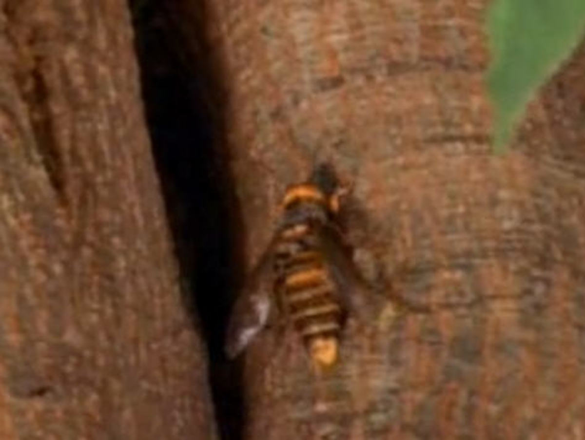 britain-and-france-face-the-deadly-asian-giant-hornet