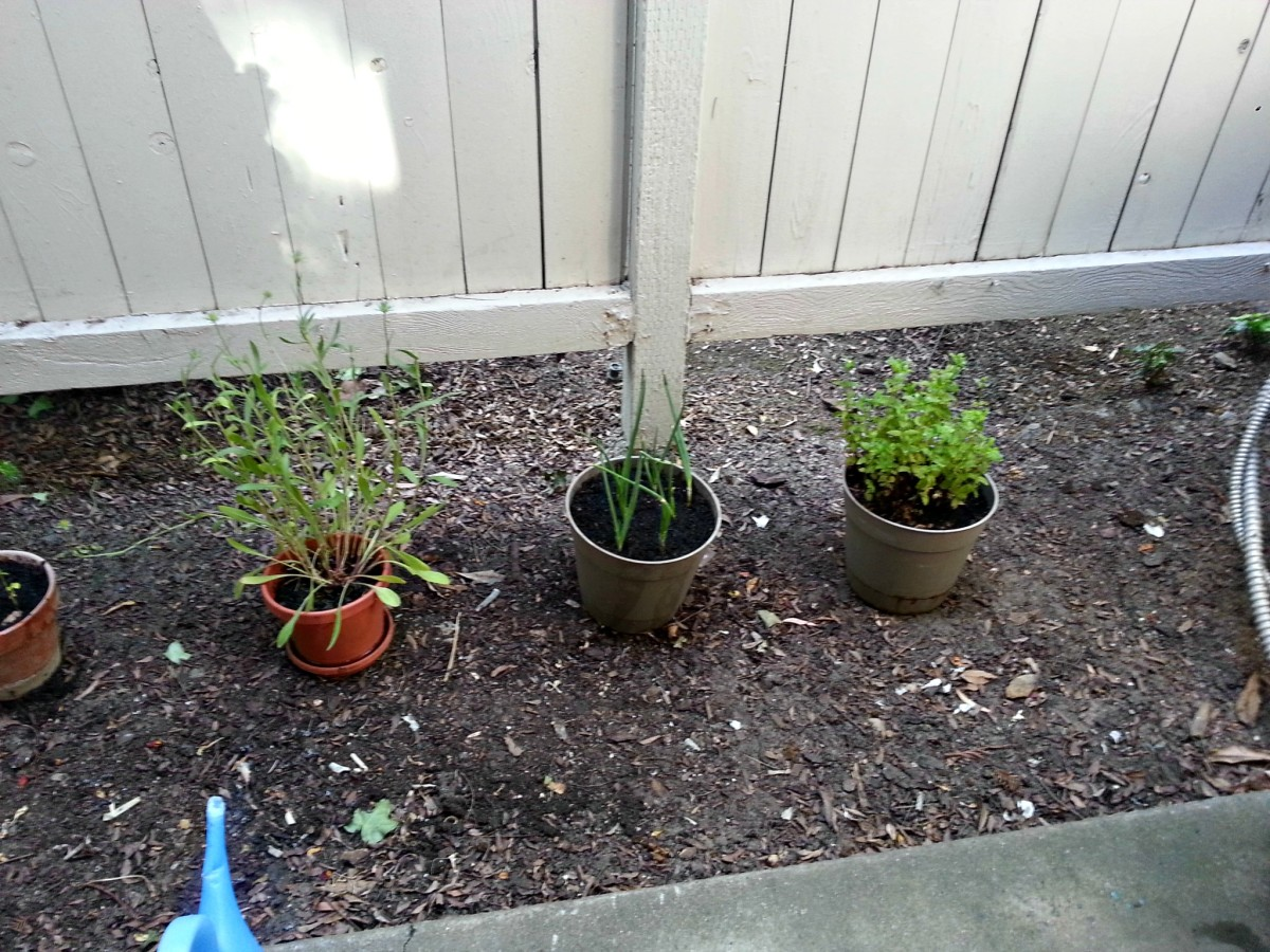 Potted green onions among other garden plants