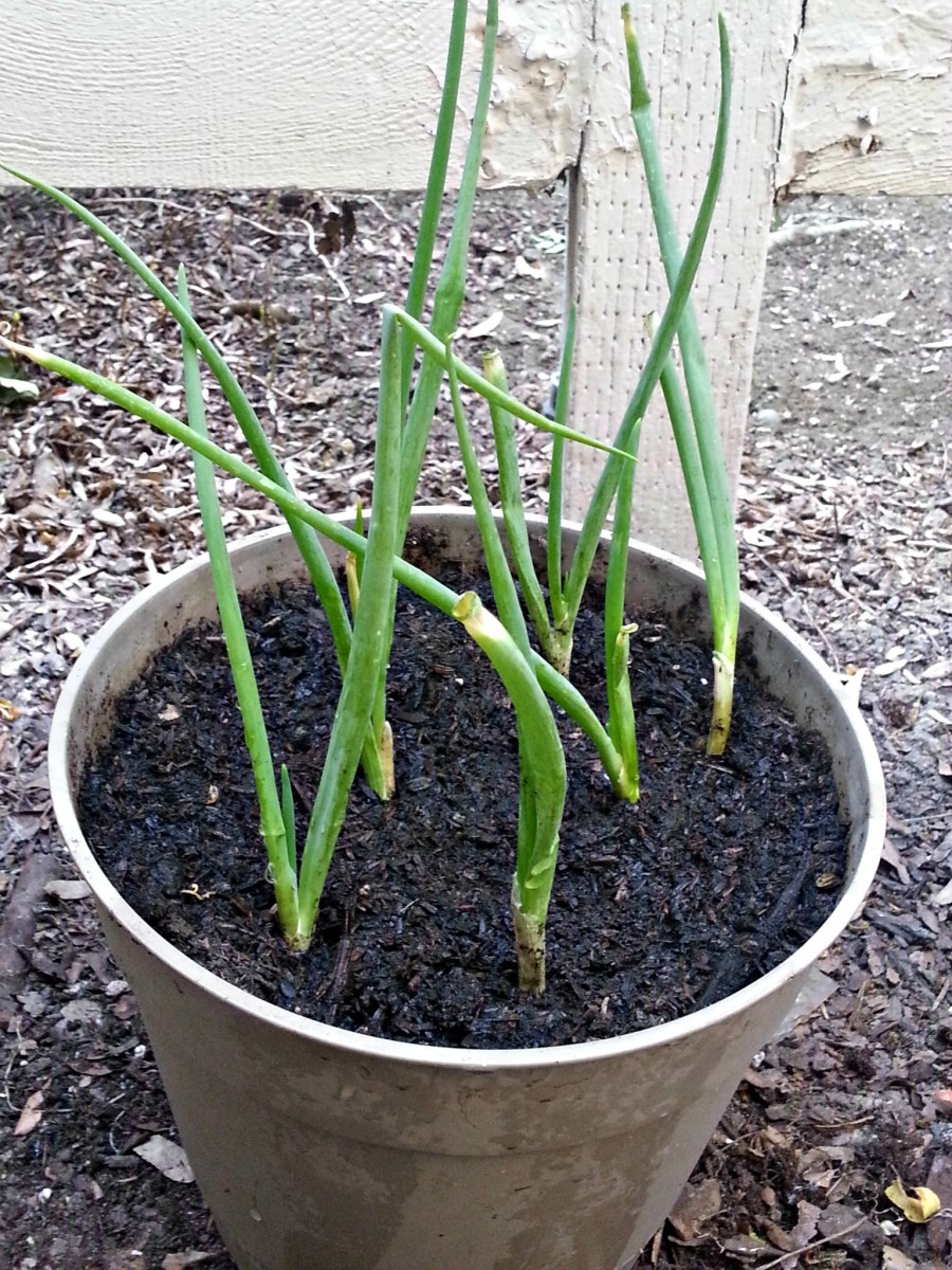 Potted green onions