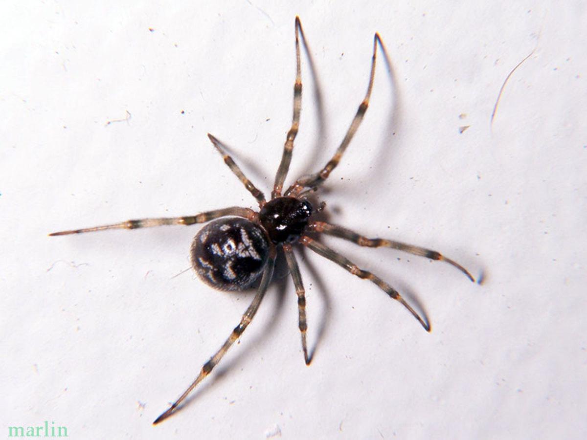 A Cobweb Spider