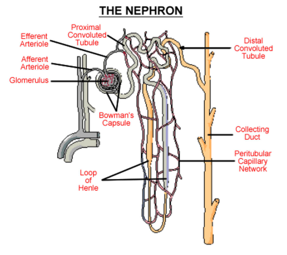 The filtration apparatus of the individual nephron. This is an amazingly intricate network of blood vessels and ducts, performing complex operations of selective excretion and reabsorption.