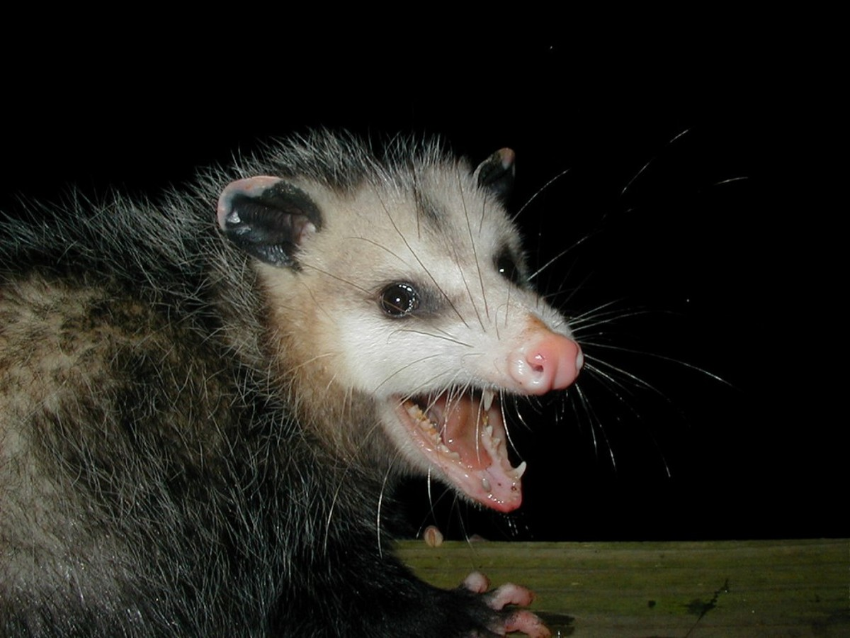 Late mail delivery is enough to piss off any possum.