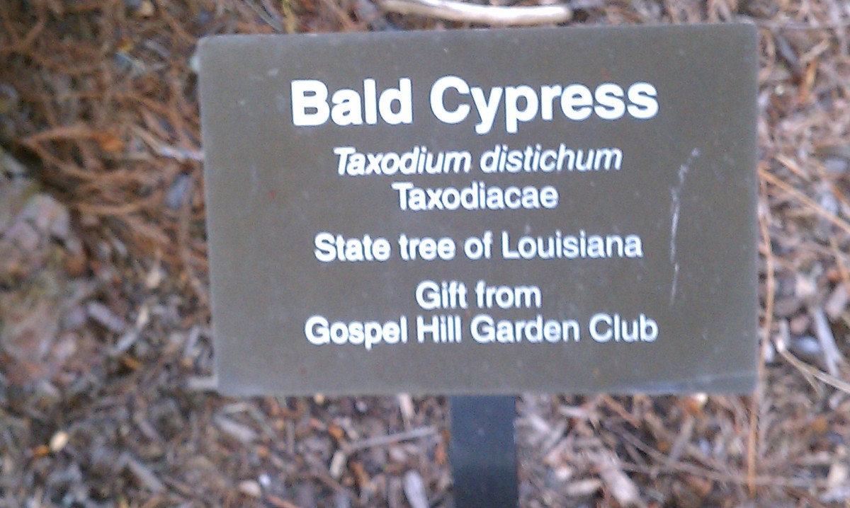 Bald Cypress is one of the trees featured at the Penn State Behrend Arboretum in Erie, PA.