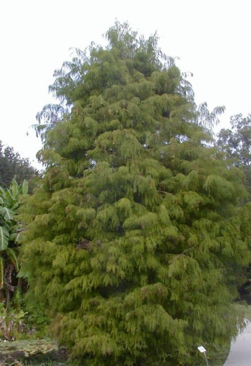 Bald Cypress has a characteristically Christmas-tree type pyramid shape.