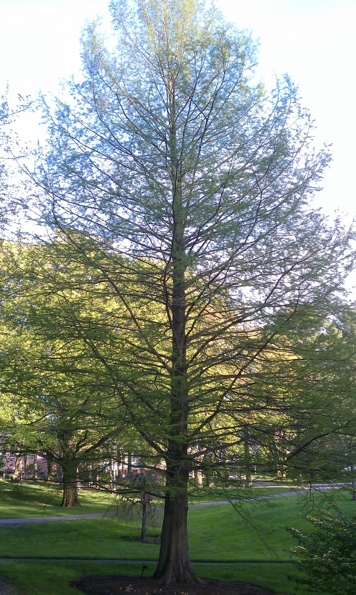 Meet the Trees: Introducing the Bald Cypress (Taxodium distichum)