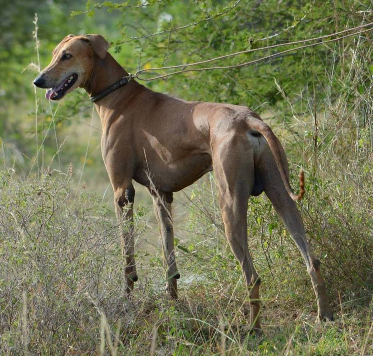 indian-dogs-that-doesnt-bark