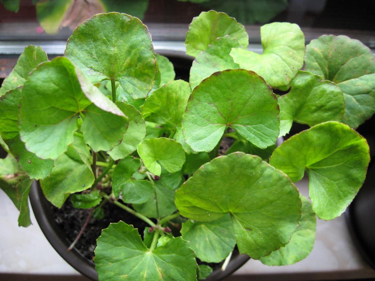 Gotu Kola or Centella asiatica plant