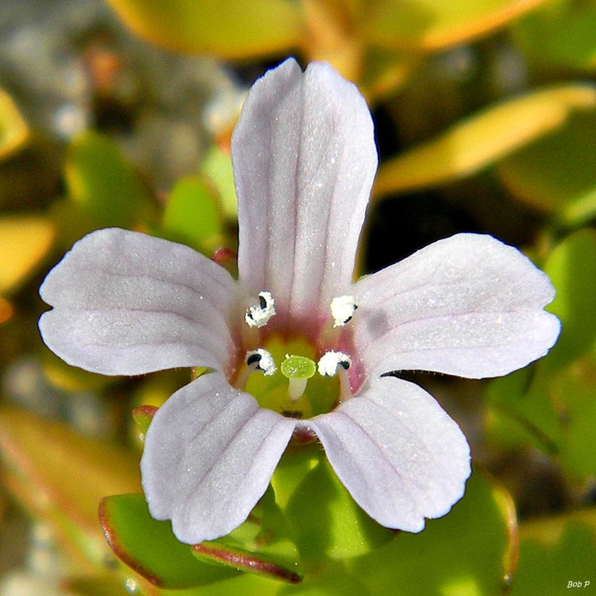 brahmi flower