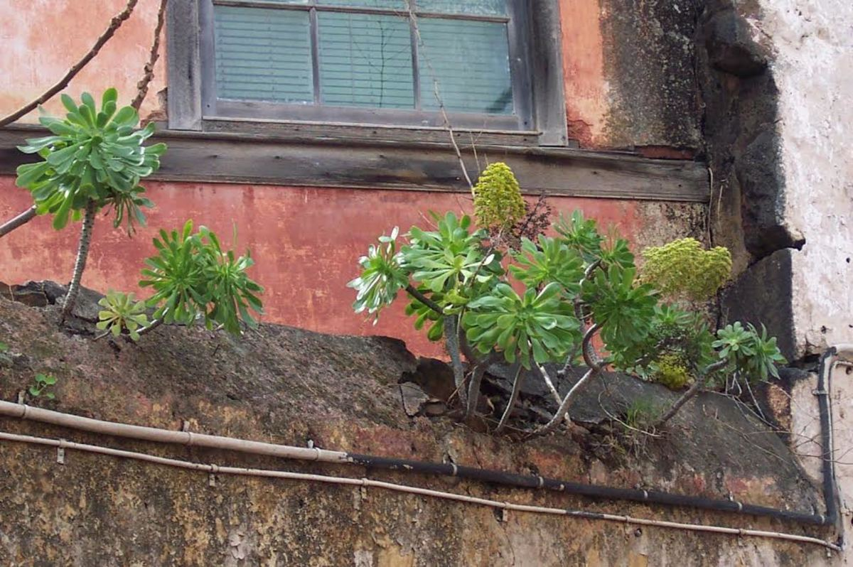 Houseleeks growing on a building in La Laguna