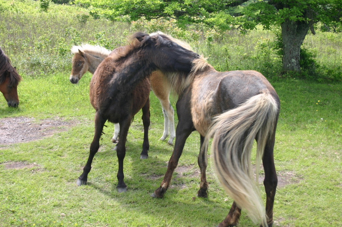 Horses communicate by touching.