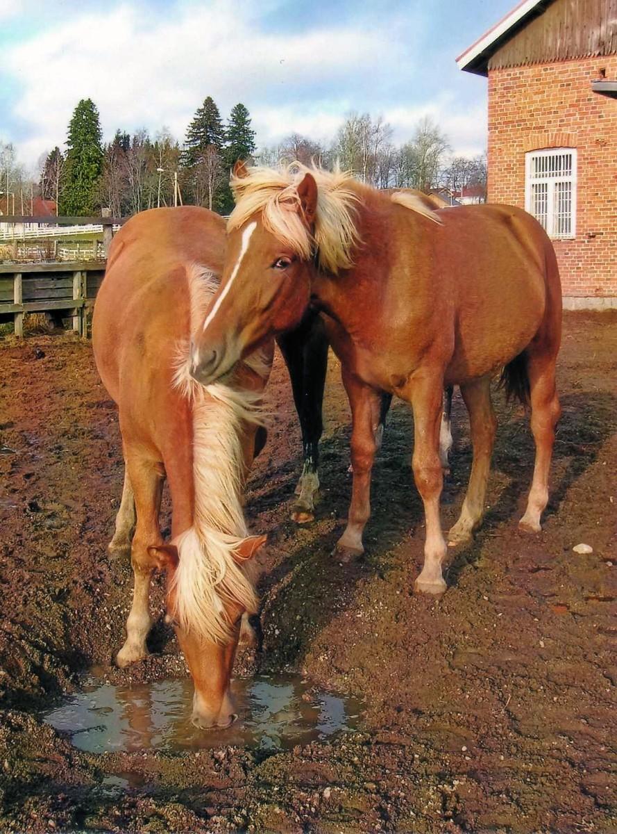 Horses socialize through their sense of touch.