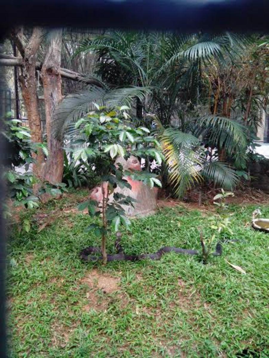 King Cobra at Bannerghatta Biological Park Zoo