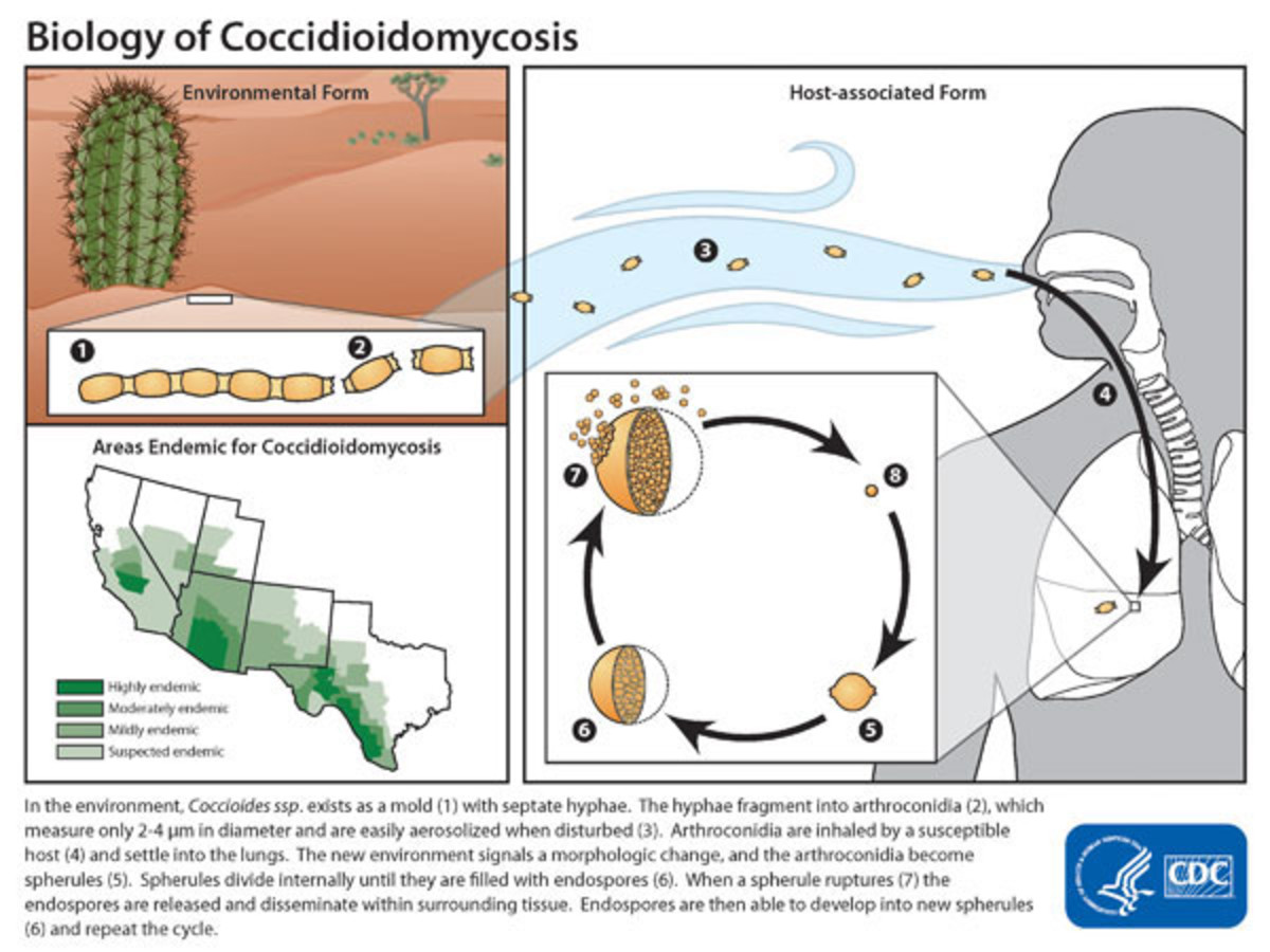 The Life Cycle of the Fungus, Coccidioidomycosis