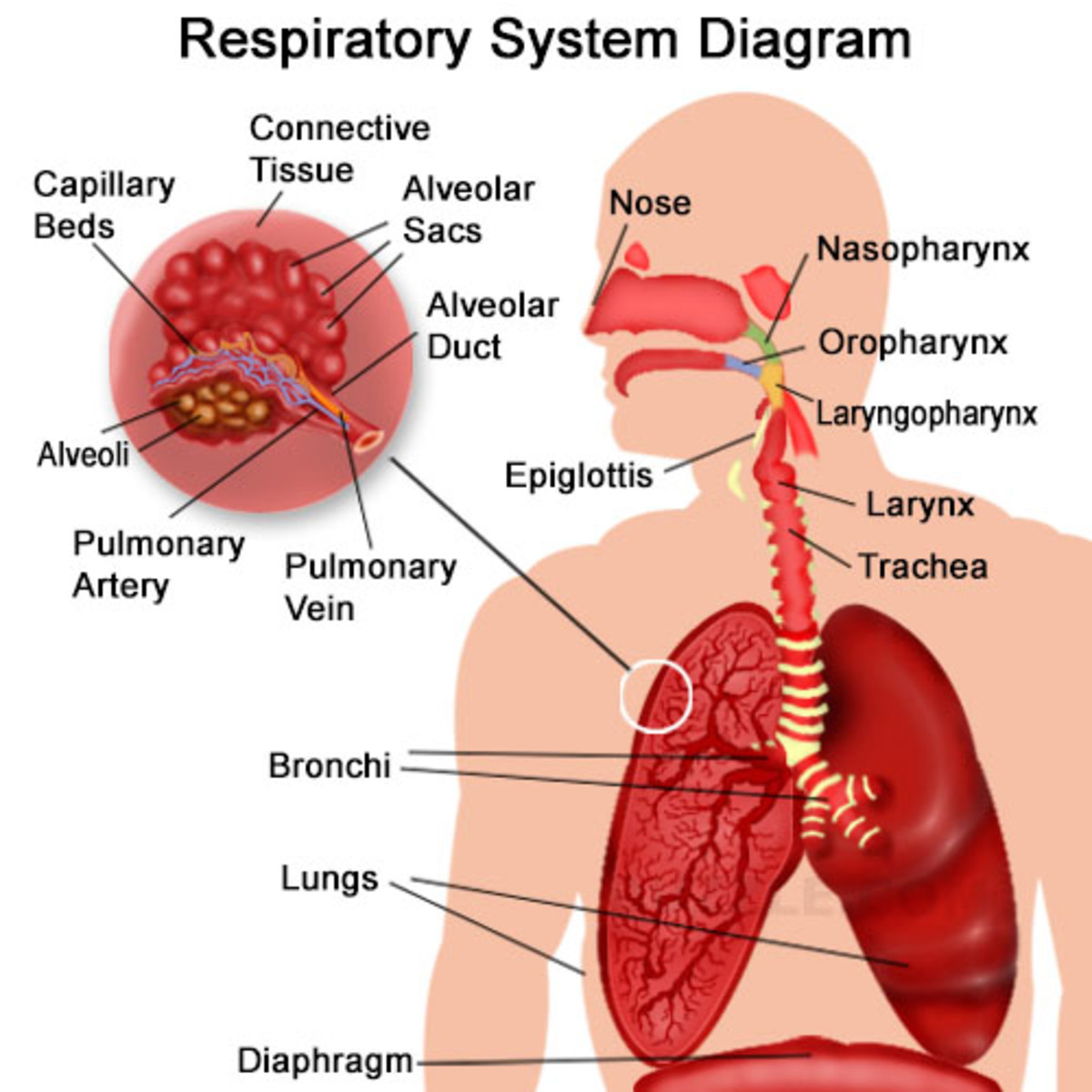 The respiratory pathway hubpages respiratory system retrieved december 9 2014 from httpinnerbodyanatomyrespiratoryfull description ccuart Images