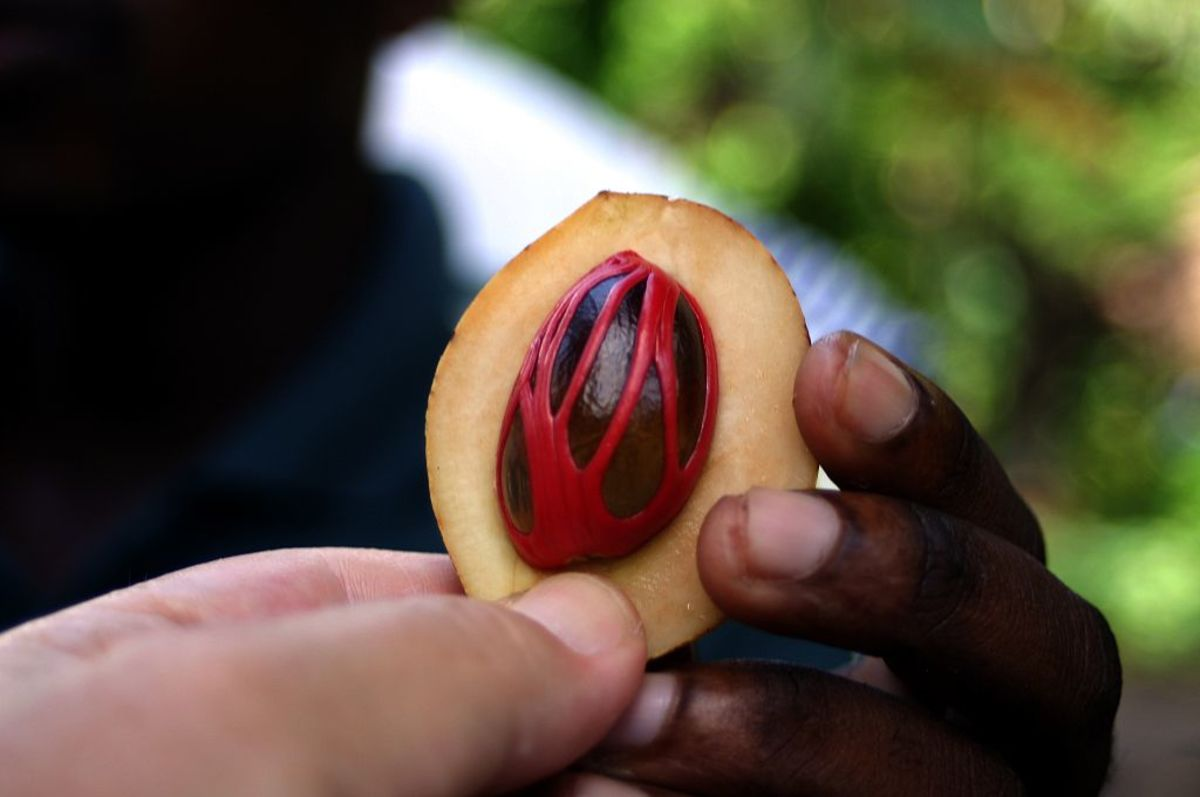 Nutmeg is a drupe like apricot, fleshy fruit surrounds a shell of hard endocarp containing a seed (nutmeg) enveloped by mace aril, a redish brown lace-like fibre.