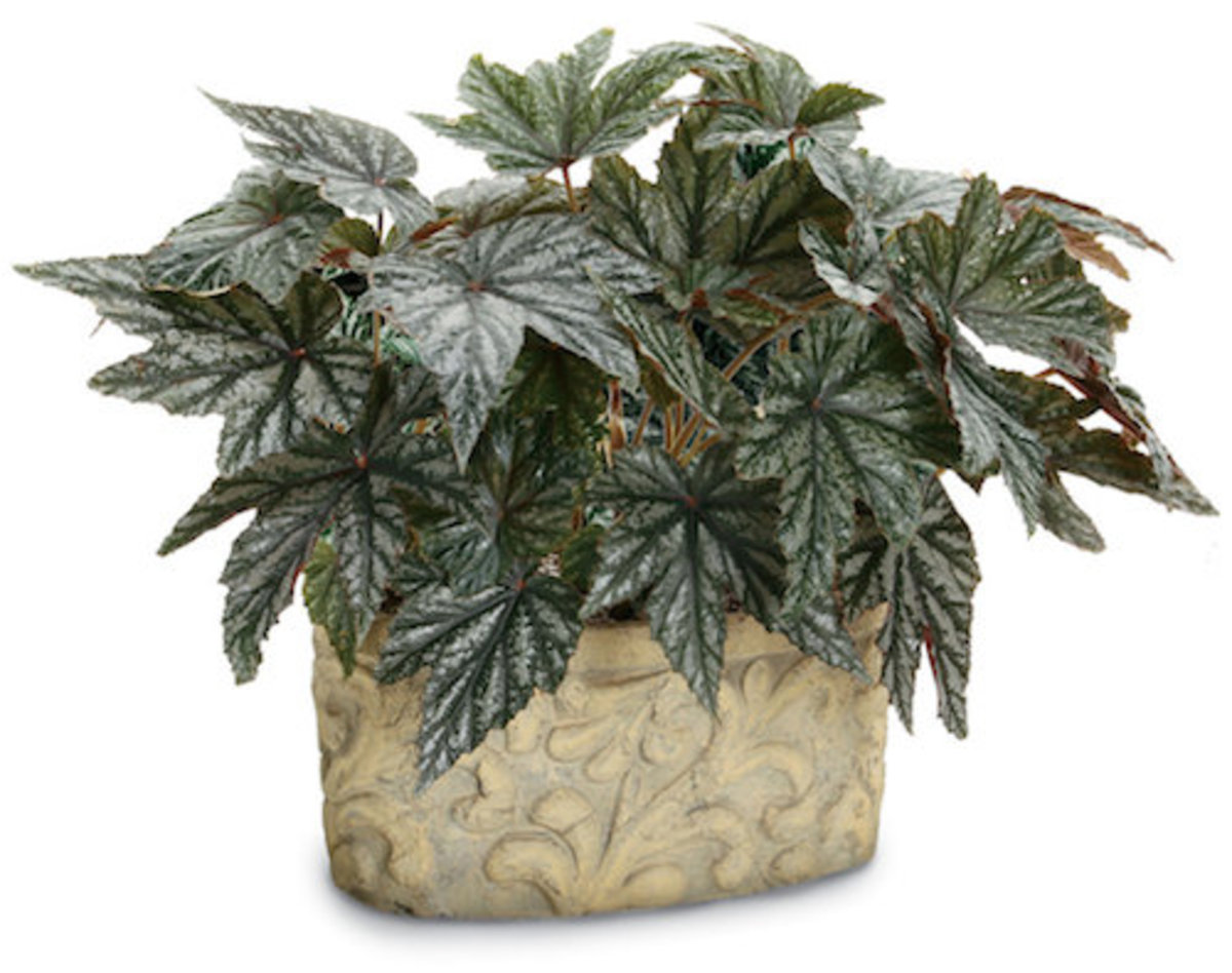 Flowers are not missed with such attractive foliage like Pegasus begonia.