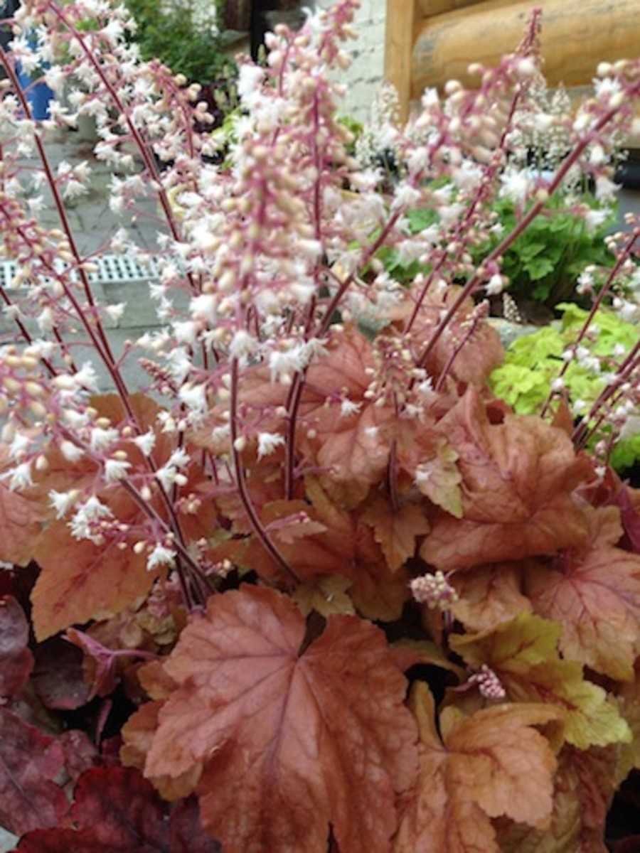 Heuchera 'Vienna' loaded with springtime cream colored coral bells.