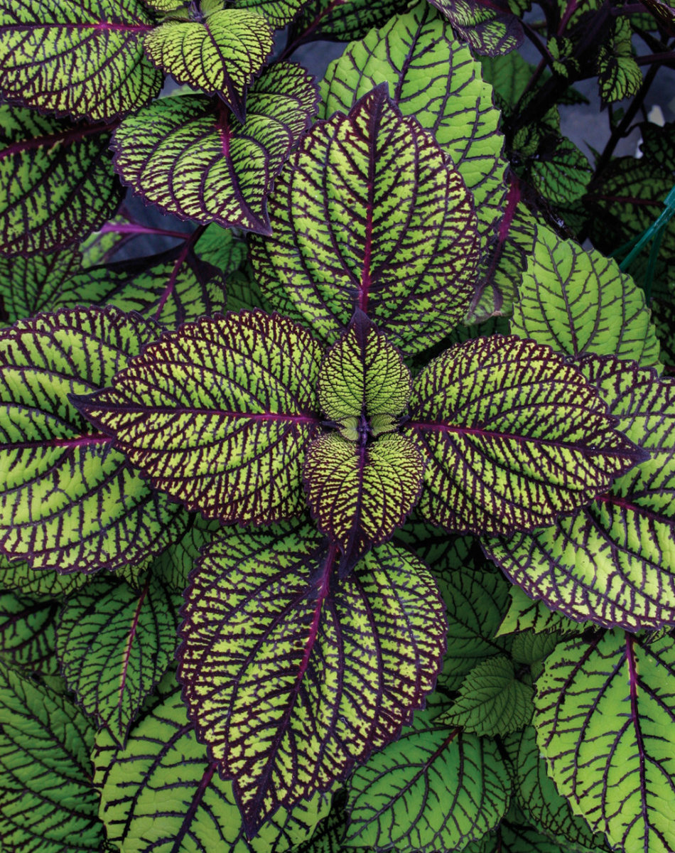 Fishnet Stockings - Coleus - Solenostemon scutellarioid