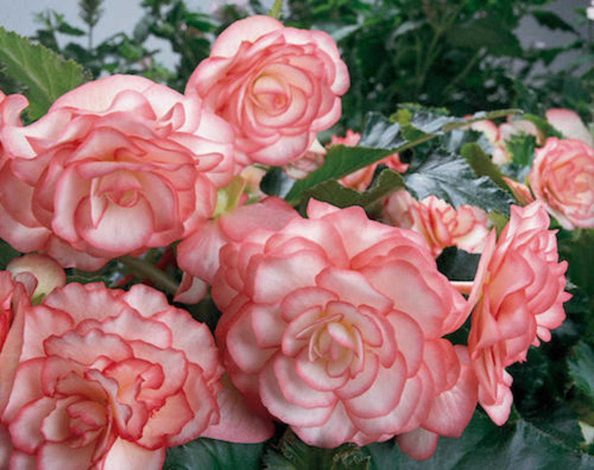 On Top® Pink Halo - Tuberous Begonia Each white petal is outlined in a bright pink.   Part Shade to Shade.