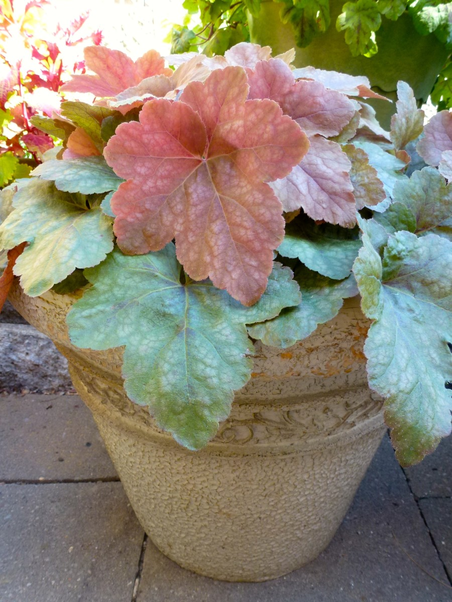 Heuchera 'Vienna' color has changed by summertime.