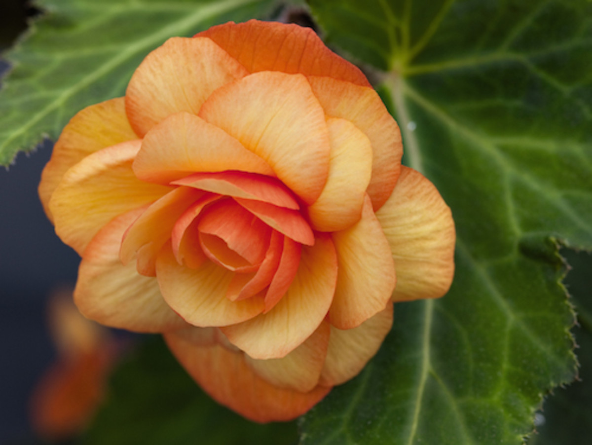 NEW Illumination® Apricot Shades - Tuberous Begonia.  Part Shade to Shade