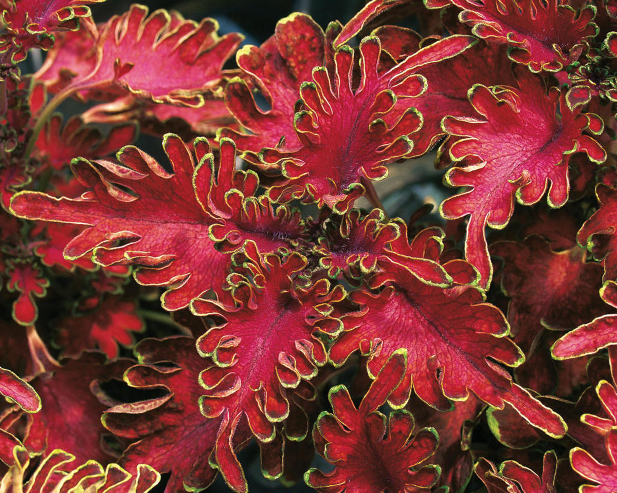 Ruffles Bordeaux - Coleus - Solenostemon scutellarioide