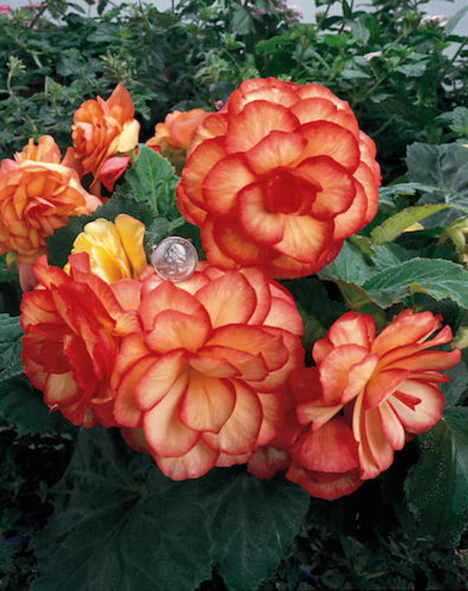 On Top® Sunset Shades - Tuberous Begonia What color would you call this begonia? Upright, large yellow flowers edged in orange.  Part Shade to Shade