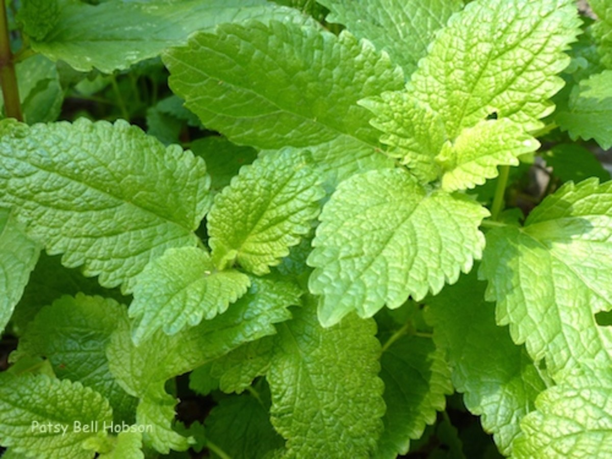 Cut Lemon Balm back and it will regrow fuller than ever. I usually cut it down to the ground 2 or 3 times every summer. Part shade.