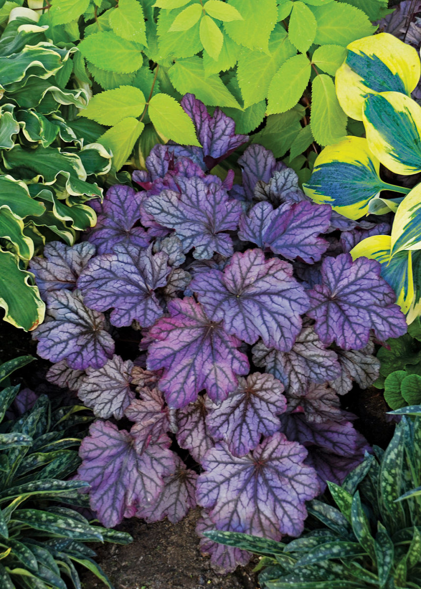 Dolce® 'Blackberry Ice' - Coral Bells - Heuchera hybrid. Purple black with silver netted foliage.