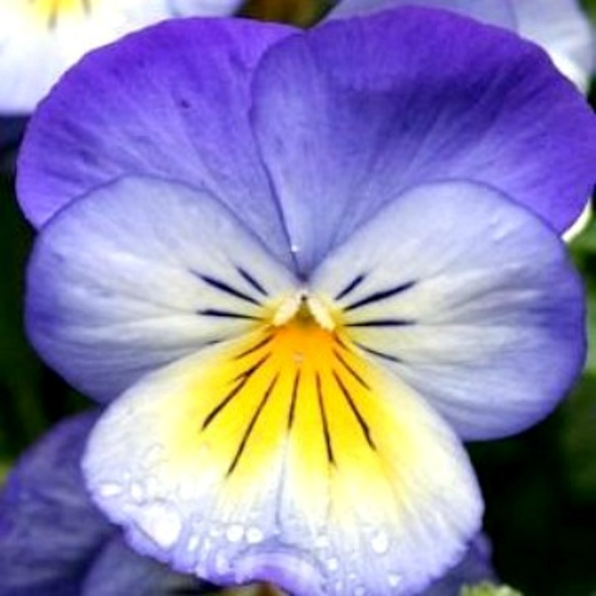 Johnny Jump-up or Field Pansy