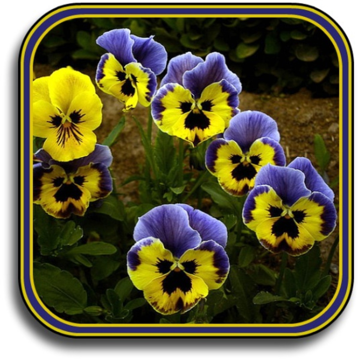 How to Plant a Pansy Flower Hanging Basket