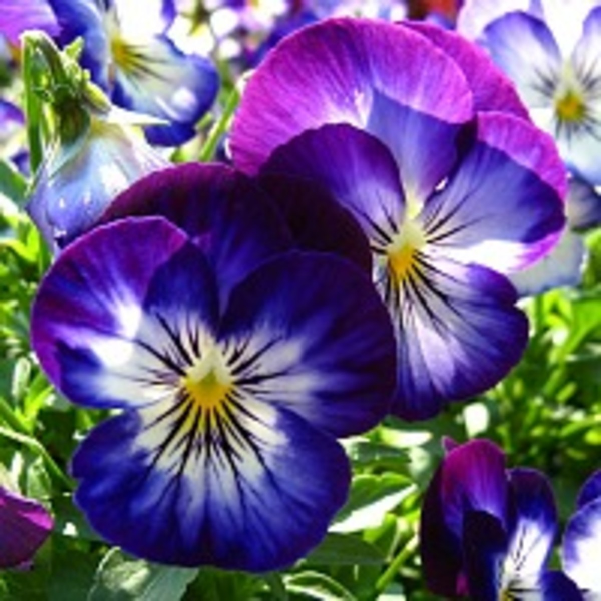 how-to-plant-a-pansy-flower-basket