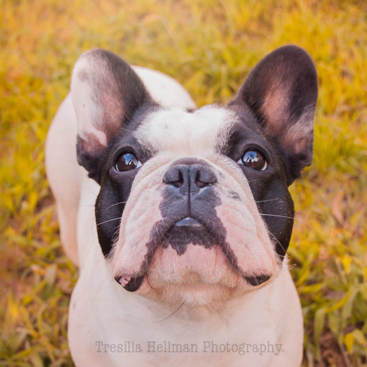 The ever beautiful face of Flora the French Bulldog. A stunning double hooded pied Frenchie.