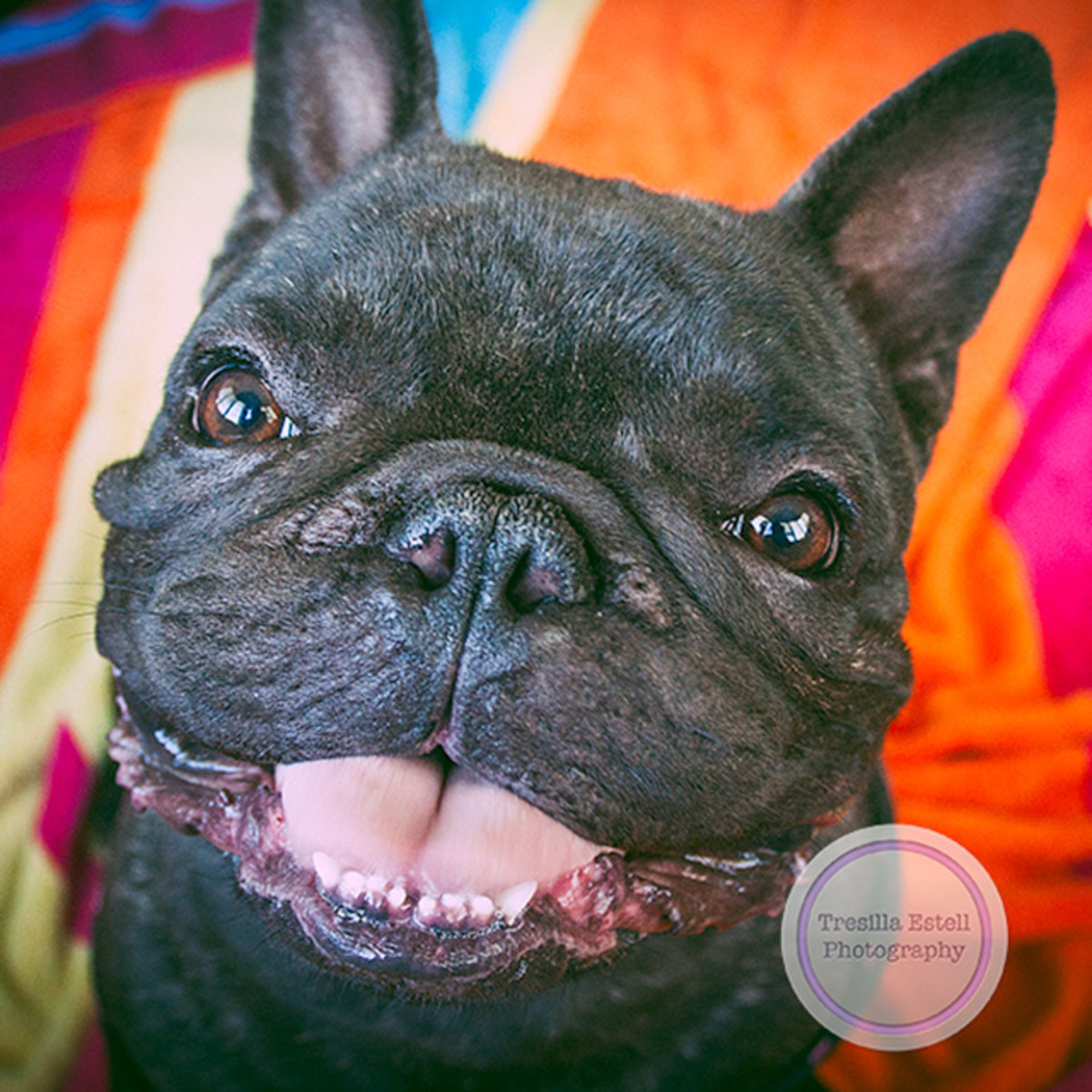 Zorro the French Bulldog goes to the beach. A handsome brindle male Frenchie.
