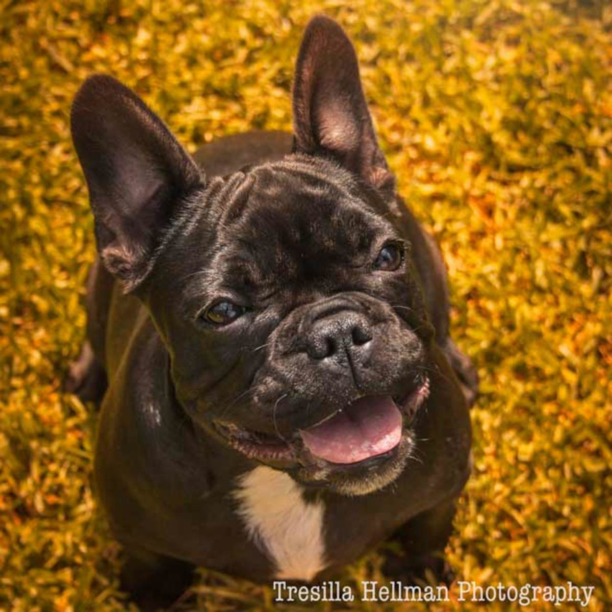 Harriet the Black brindle French Bulldog, just 5 months of age she is still a puppy.