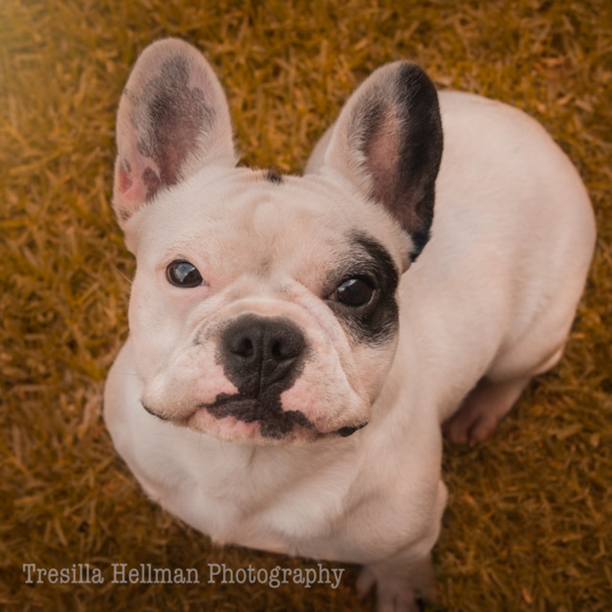 Frankie the pied French Bulldog - pirate like is her sweet & cheeky face.