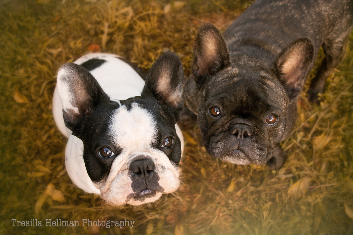 French Bulldogs thrive on the company of their human companions but they generally also appreciate the company of another dog. There are exceptions to this rule but generally speaking they enjoy playing with other dogs.