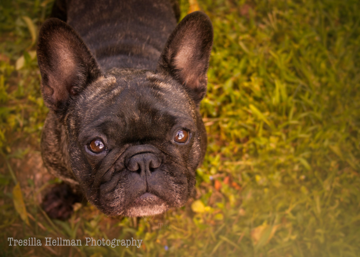 Leah the French Bulldog is a brindle girl. Her face conveys wisdom beyond her years.