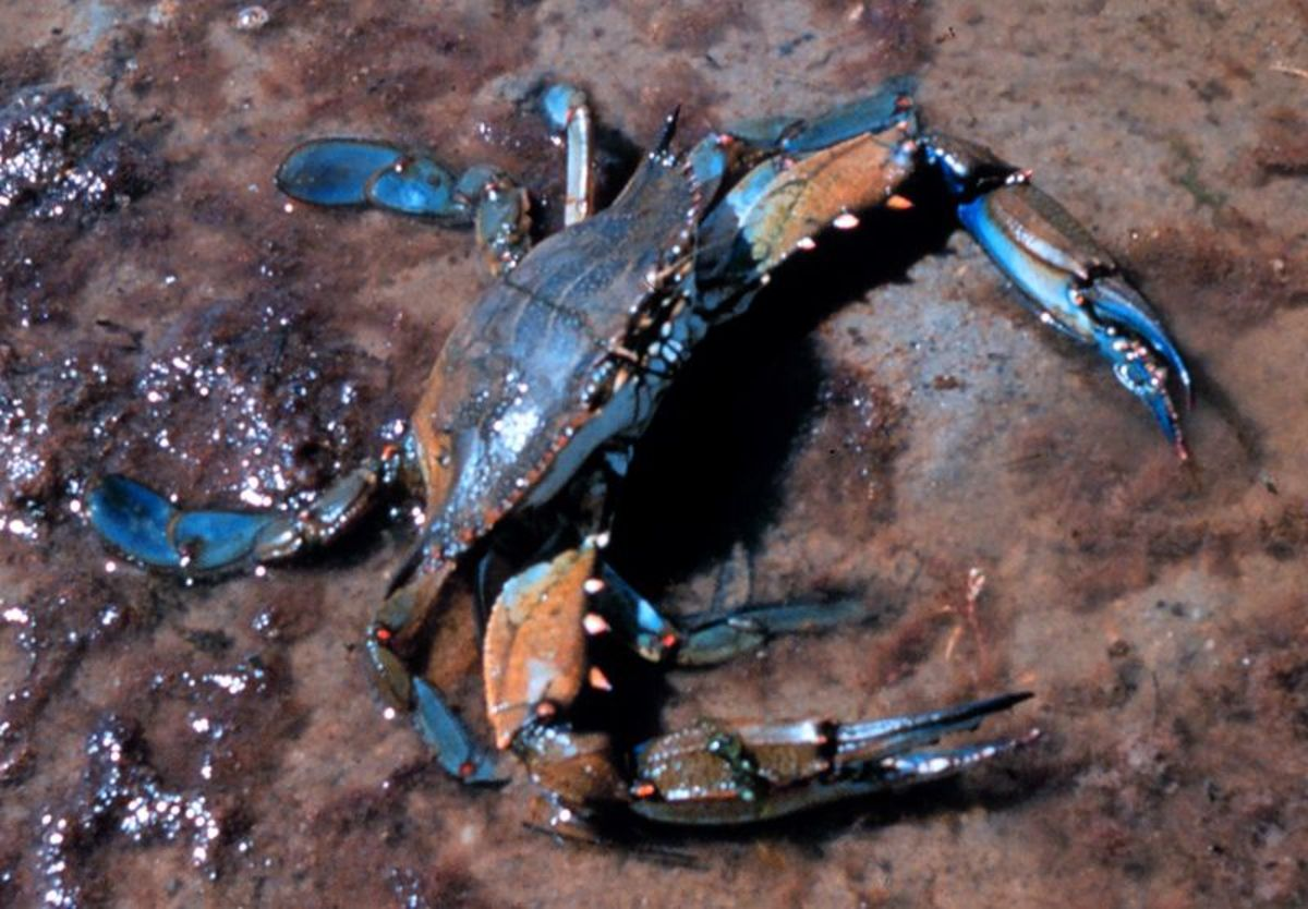 Low supply and high demand for blue crabs drives prices up.