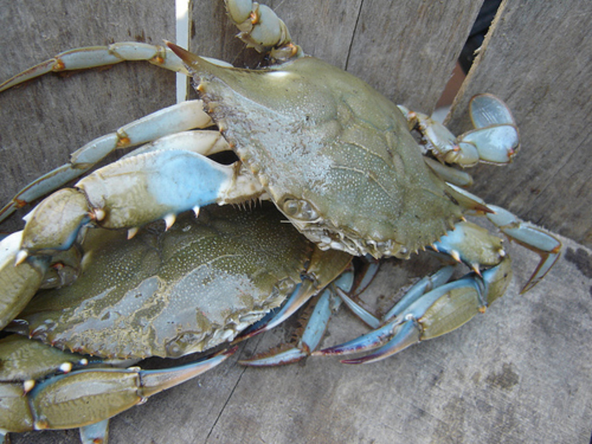 Blue crab populations have drastically dropped over the years.