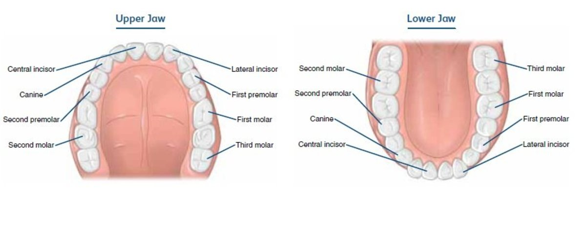 Kinds of teeth