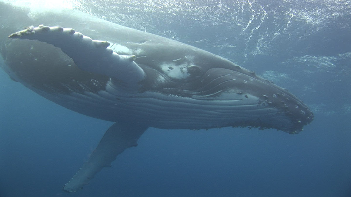Marine Mammal Facts: Gray Whale (Eschrichtius robustus)