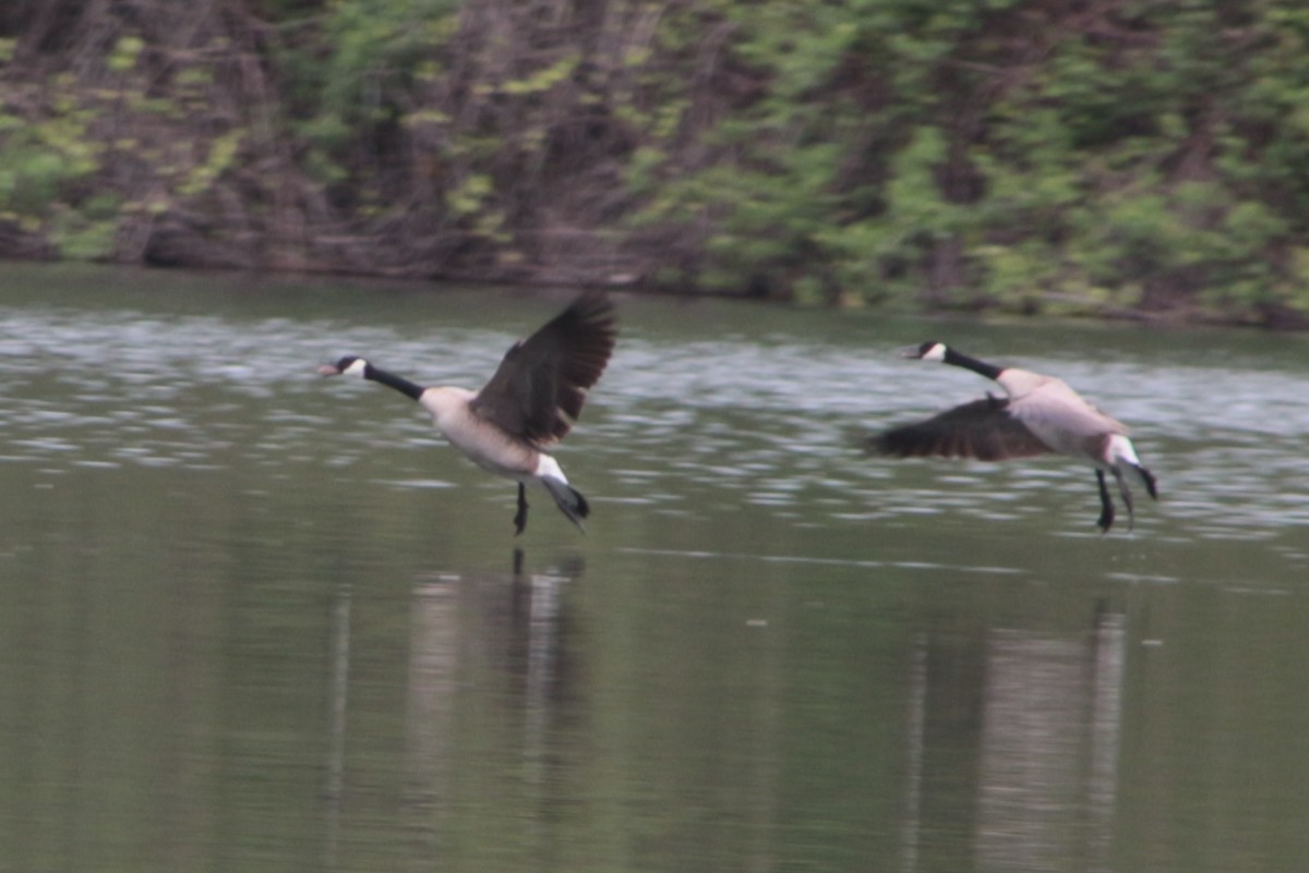 Geese in flight will give you the best proportions to judge neck length.