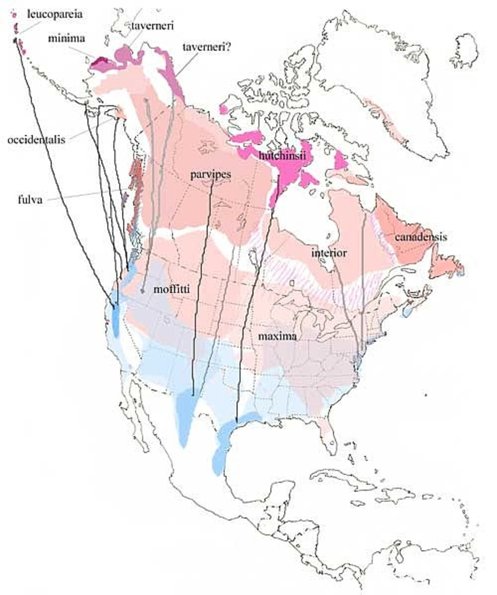 Goose Subspecies and Their Flyways