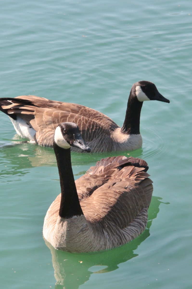 Canada Goose (moffitti) up front with a possible (taverneri) behind it.