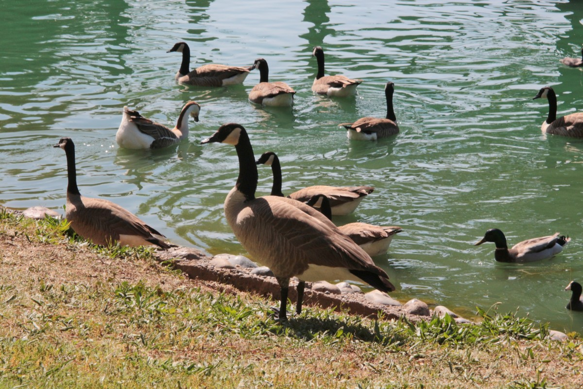 Canada Geese at Elk Grove Park CA.